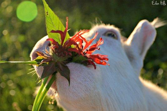 Bee Balm goat_2565ew