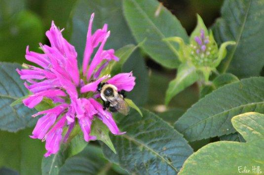 bumblebee on bee balm