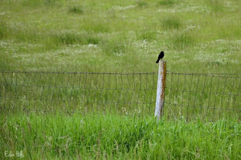 Blackbird on fence_0776ew