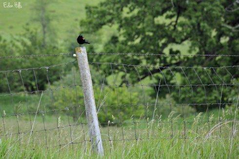 Blackbird on post_0781ew