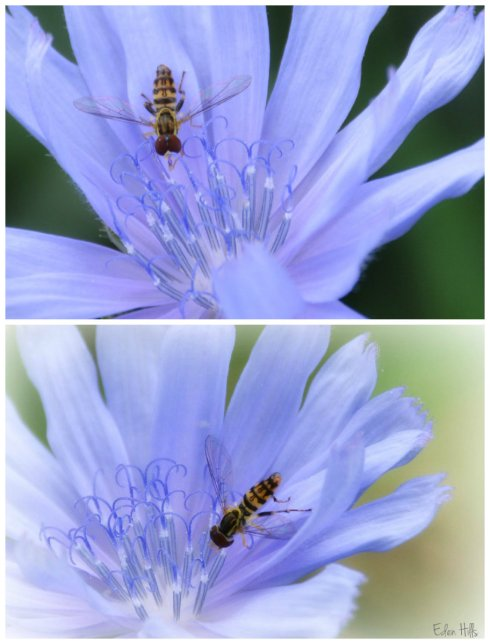 chicory collage