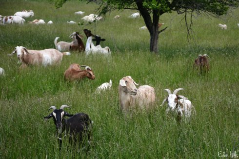 Goat Pasture_0977ew
