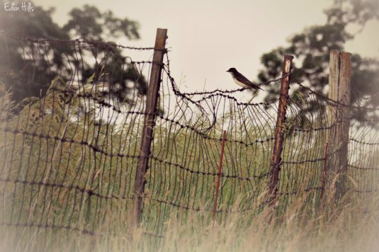 kingbird_2502ew