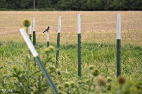 eastern kingbird_0792ew