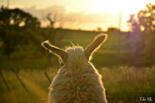 llama ears_2445ew