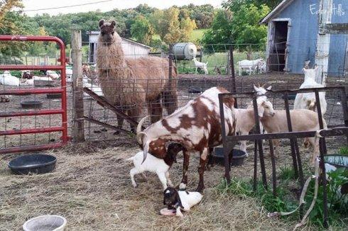 llama looking at goat kids