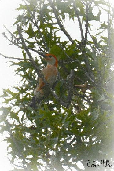 red bellied woodpecker_0987e2w
