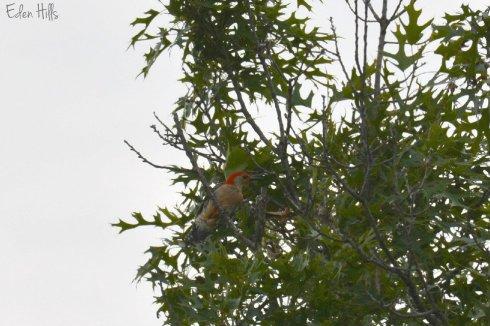 red bellied woodpecker_0988ew