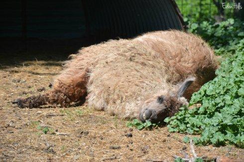 sleeping llama_0851ew