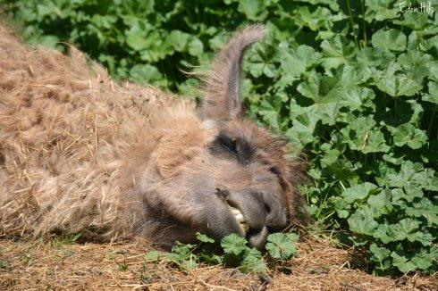 sleeping llama_0852ew