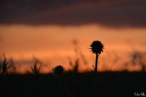 Thistle Sunset_2079aw