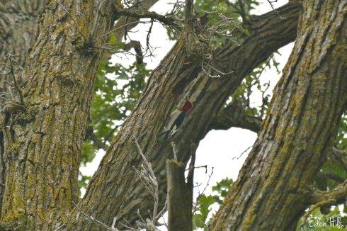 Woodpecker_2201ew