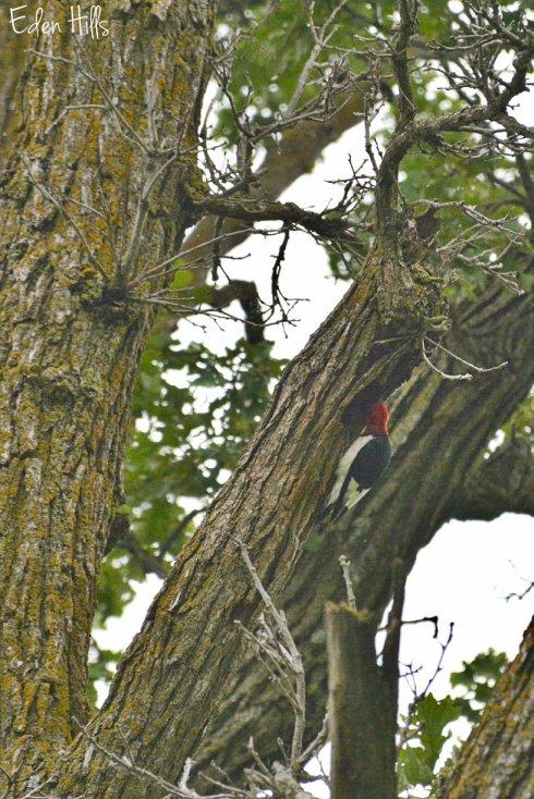 Woodpecker_2202ew
