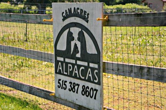 Alpaca Farm_3792ew