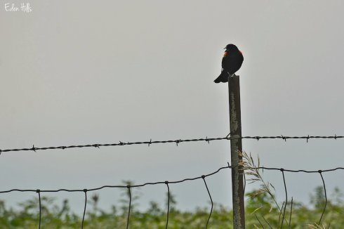 Blackbird_3088ew