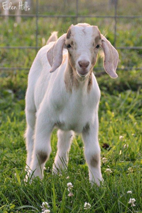 Buckling Goat_3711ew