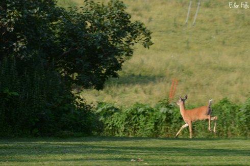 Deer_3205w