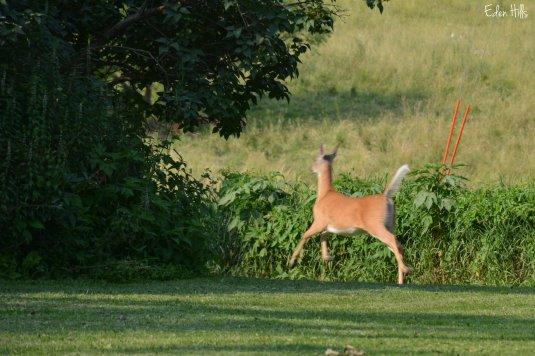 Deer_3206w