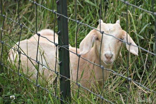 Doeling Goat_2933ew
