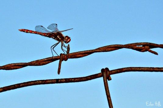 dragonfly_4013ew