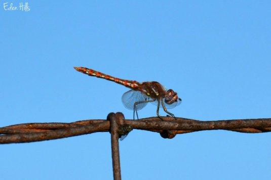 Dragonfly_4018ew