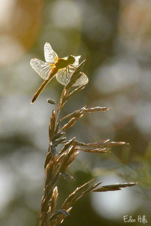Dragonfly_4048ew