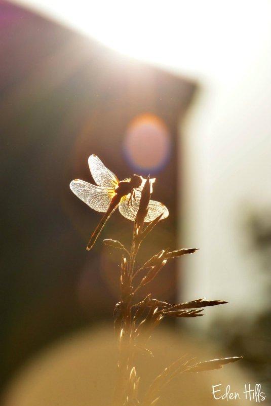 Dragonfly_4049ew