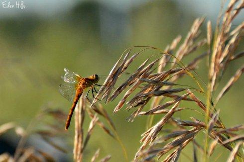 Dragonfly_4052e2w