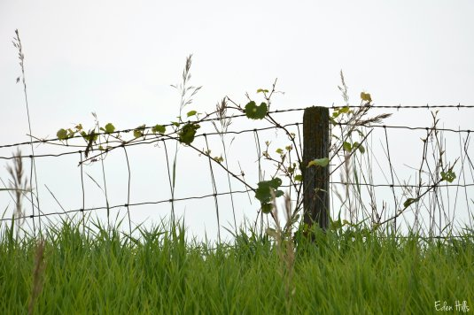 my fence with a grape vine