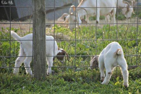 Goat Family_3703ew