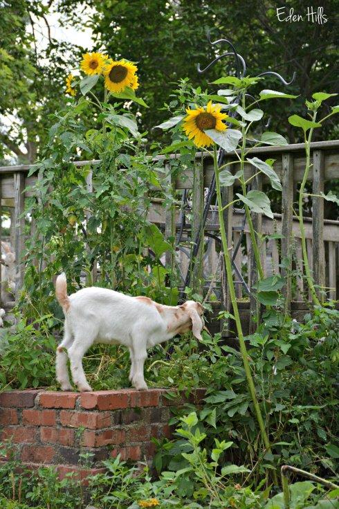 Goat kid sunflowers_3864ew