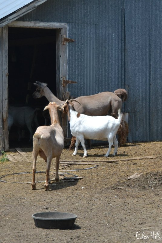 goats and llama_0033aw