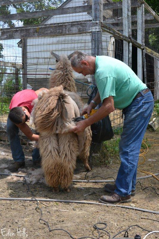 llama shear_0018aw
