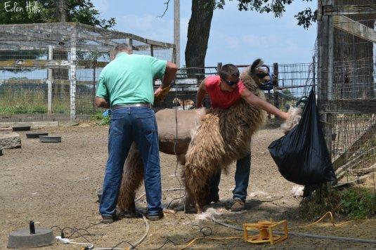 llama shear_0023aw