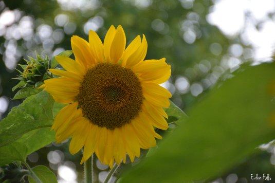 Sunflower_3726w