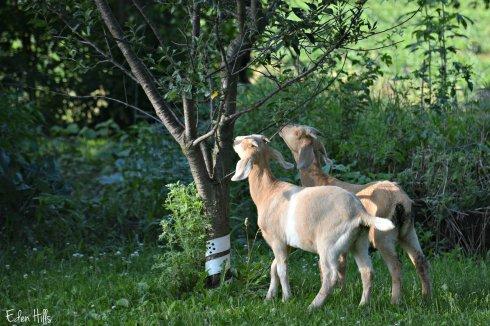 Twin doe goats_3698ew
