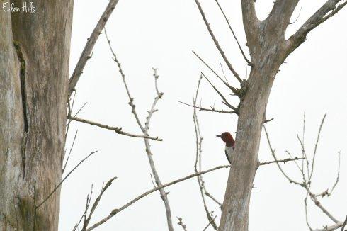 Woodpecker_3092ew