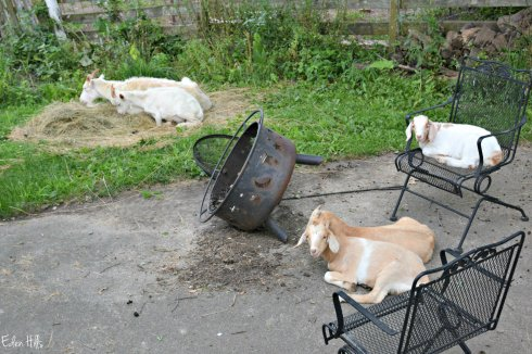 Yard Goats_3856ew