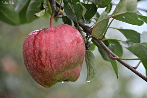 apple raindrop_5876ew