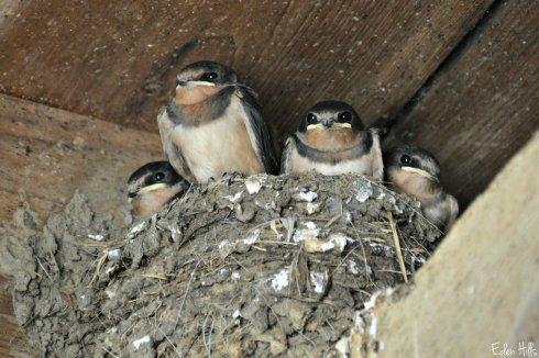 Barnswallows_4791ew