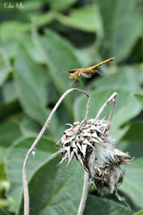 Dragonfly_5244ew