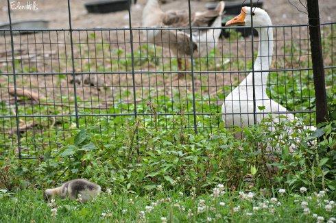 geese_3869ew