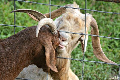 Goat Love_5158ew