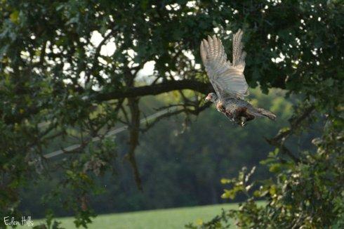 pheasant_5855ew