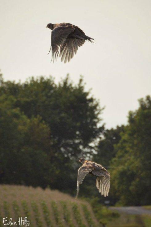 pheasants_5858ew