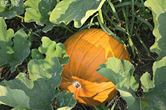 pumpkin_5862ew