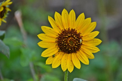 Sunflower_5987ew