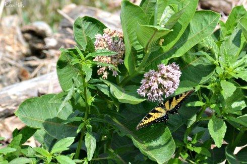 Swallowtail_5223ew