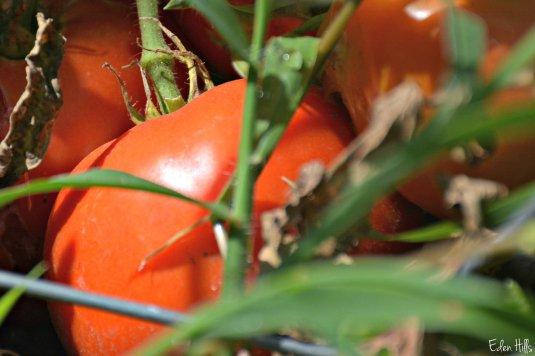 tomatoes_5595ew