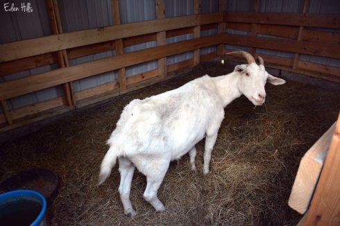 Doe Goat_6609ew